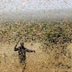 Non solo Covid-19. La piaga delle locuste in rapida crescita potrebbe schiacciare l'Africa orientale entro giugno