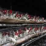 Stop ad allevamenti in gabbia e circhi: francesi pronti a un referendum per i diritti degli animali