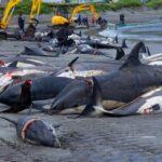 Torna la terribile mattanza alle isole Fær Øer, uccisi quasi 300 delfini e globicefali in una volta