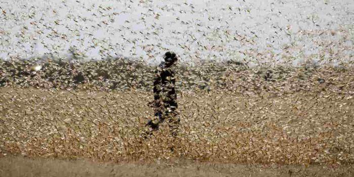 """Africa. La """"terrificante e drammatica"""" piaga della locuste mostra all'umanità l'impatto del cambiamento climatico"""