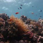 La Grande Barriera Corallina ha perso metà dei suoi coralli dal 1995 a oggi