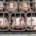 Basta animali rinchiusi in gabbia negli allevamenti: consegnate 1,4 milioni di firme alla Commissione europea