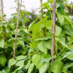Le piante di fagioli sono esseri senzienti (e possono prendere decisioni)