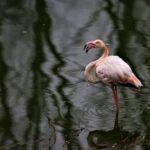 Addio al raro fenicottero rosa avvistato in Abruzzo