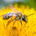 Le api sono in pericolo: molte specie non vengono nemmeno più censite. Lo studio shock