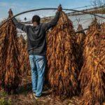 """Così le lobby del tabacco si stanno """"prendendo"""" l'Africa, sfruttando e avvelenando agricoltori e terra"""