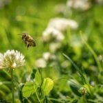 La strage silenziosa delle api in Lombardia: in 10 milioni non sono mai tornate all'alveare
