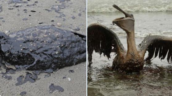 Maxi marea nera in California, strage di pesci e uccelli: disastro ambientale devastante e incalcolabile